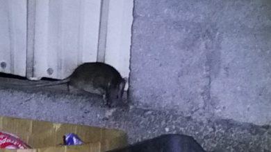 صورة «ديرة تاروت» تشتكي الفئران لـ «البلدية»
